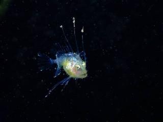 ミノアンコウ幼魚