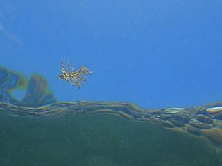 トビウオの幼魚