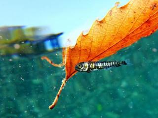 シイラの幼魚